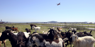 A California city is raising $30,000 to lease goats that might assist avoid the next huge wildfire