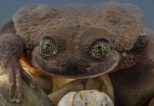This discovered Bolivian frog types made it through fatal chytrid fungi
