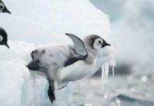 Researchers expose the secret lives of emperor penguin chicks