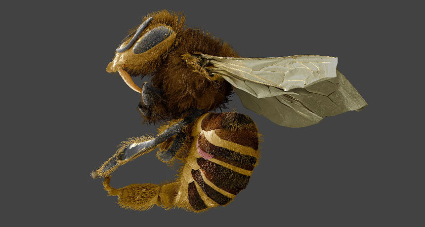 This honeybee parasite might be more of a fat thief than a bloodsucker