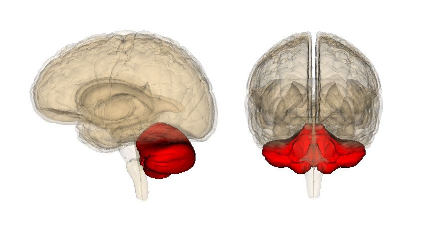 The cerebellum might do a lot more than simply coordinate motion