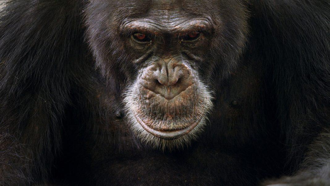 When You're an Alpha Chimp, Life Isn't a Barrel of Monkeys