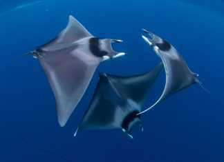 Trio of Devil Rays Caught in Rare Courtship Dance in Stunning Underwater Picture