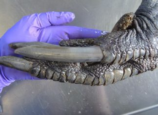 Why This Huge, Scaly Foot Appears Like It's from a Dinosaur