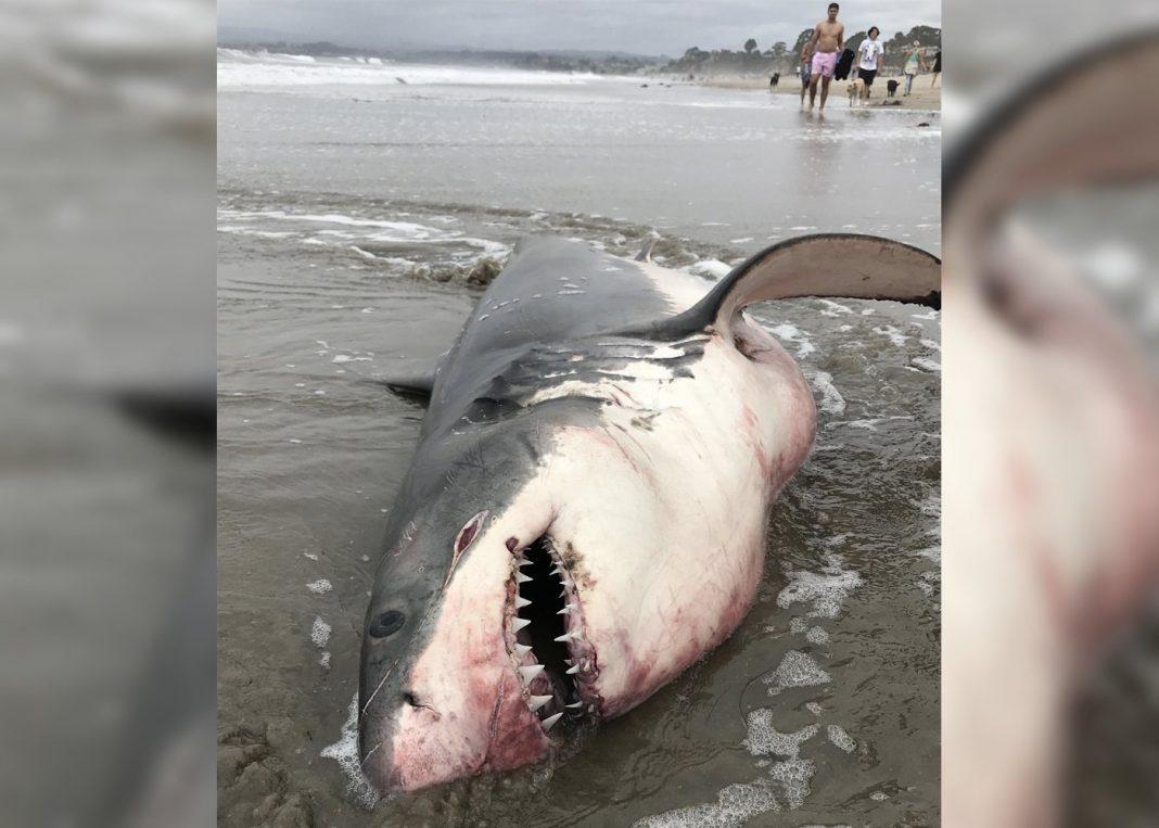 Strange Great White Shark Death Solved, Angler Convicted