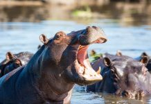 The Last Time Conditions Resembled This Hippos Swam England's Rivers