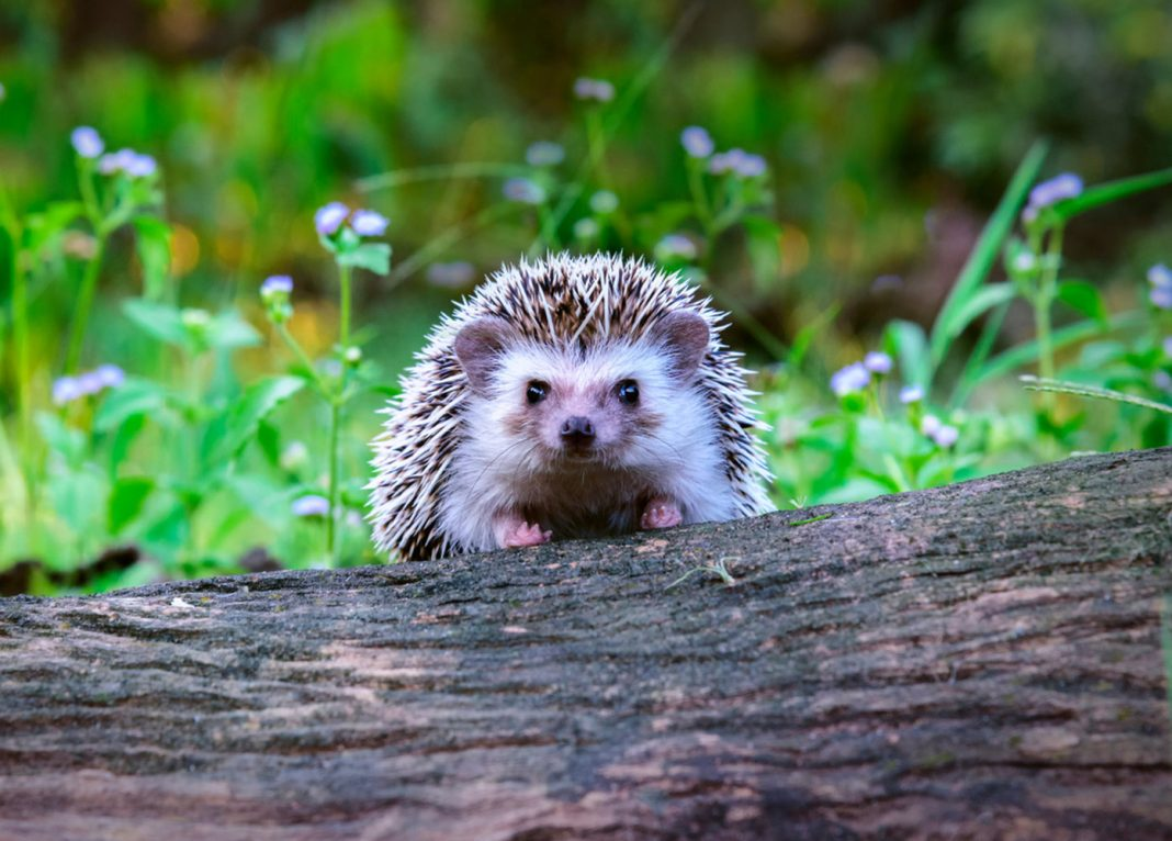 Family pet Hedgehogs Are the current Source of a Salmonella Break Out