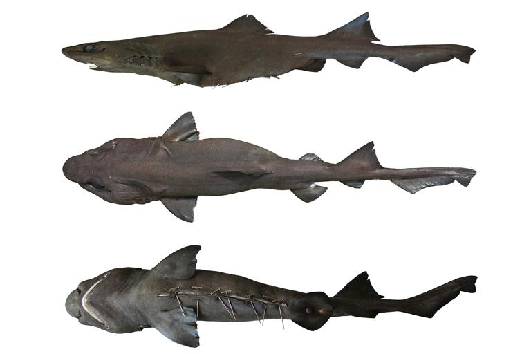 New Types Of Shark Found In Fish Market