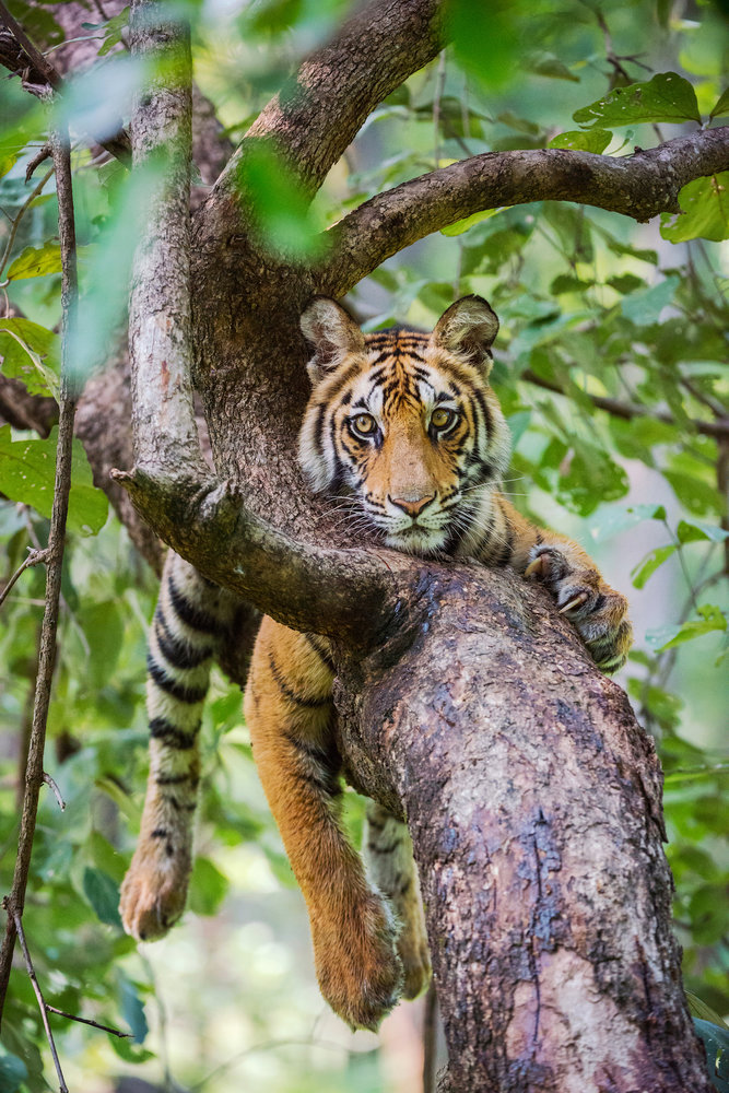 In Photos: The Tigers of India's Bandhavgarh Tiger Reserve