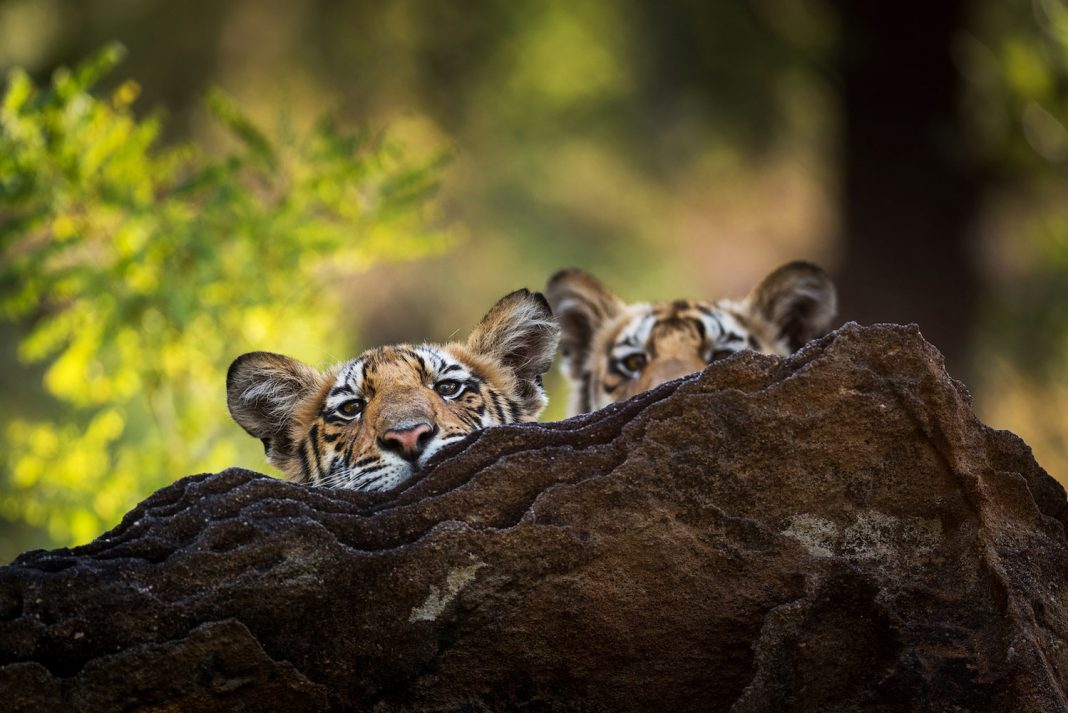 Cute Clip of Tiger Cubs Knowing to Battle Will Melt Your Heart on This 'Arctic' Day