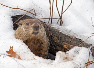 Here's how groundhogs ended up being the animal that anticipated the weather condition