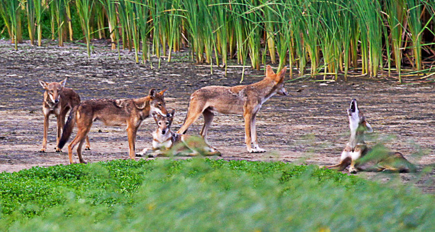 DNA from extinct red wolves survives on in some strange Texas coyotes
