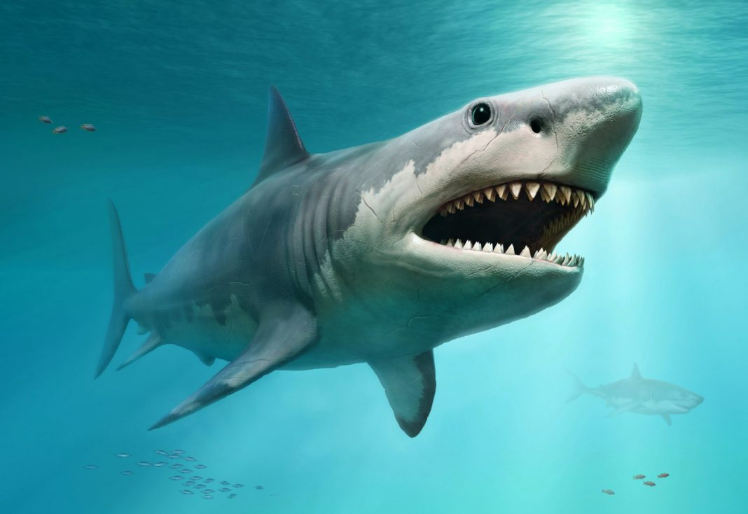 Did Great White Sharks Erase the Giant Megalodon?