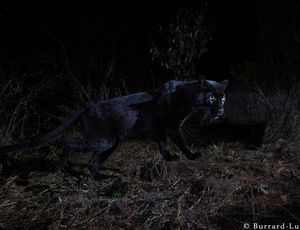 Unbelievable real-life black panther images emerge from Kenya