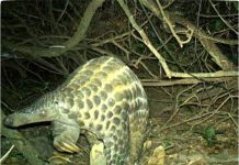 Hardly Ever Glimpsed Scaly Pangolins Caught Hugging Trees in the Dark