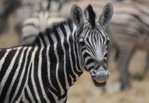 Researchers Simply Fixed The Secret Of Why Zebras Have Stripes By Making Horses Use Zebra Costumes