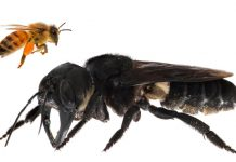 The world's biggest bee has actually been discovered after 38 years