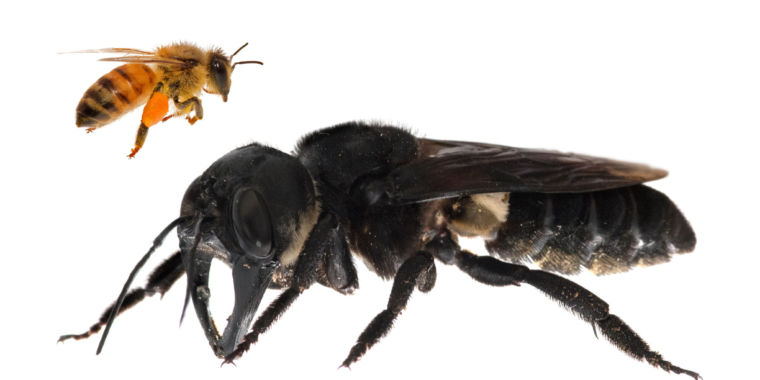 The triumphant rediscovery of the largest bee on Earth