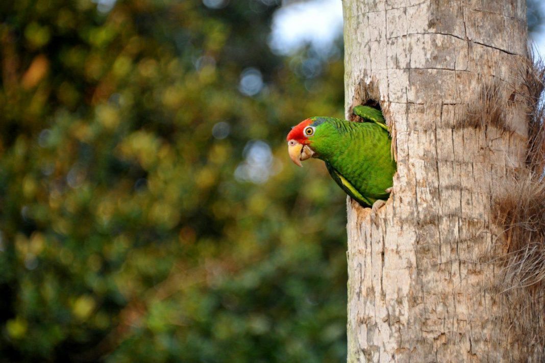 Can We Save Endangered Parrots By Keeping Them In Cities?
