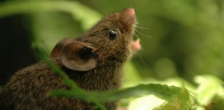 How singing mice belt out duets