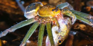What spiders consuming odd things inform us about complex Amazon food webs