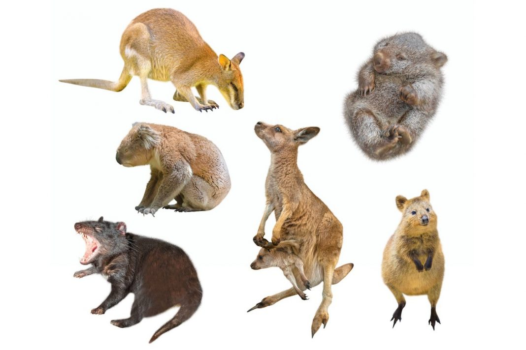 Why Exist A Lot Of Marsupials in Australia?