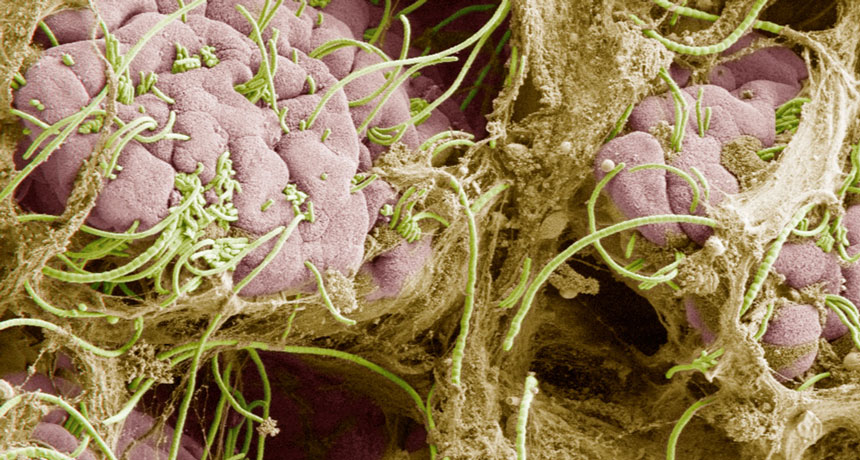 How practical gut microorganisms send out signals that they are good friends, not enemies