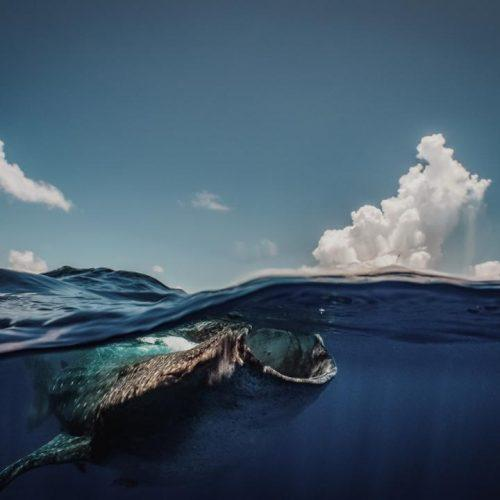 Philippines Has Actually 2nd Largest Understood Population Of Whale Sharks