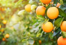 Oranges: Realities About the Lively Citrus Fruit
