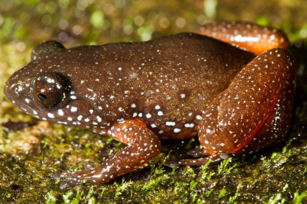 Freshly Found 'Starry Dwarf Frog' Uses a Galaxy on Its Back, Conceals in Dead Leaves