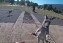 Kangaroo with a Mean Right Hook Foils Paraglider's Perfect Landing