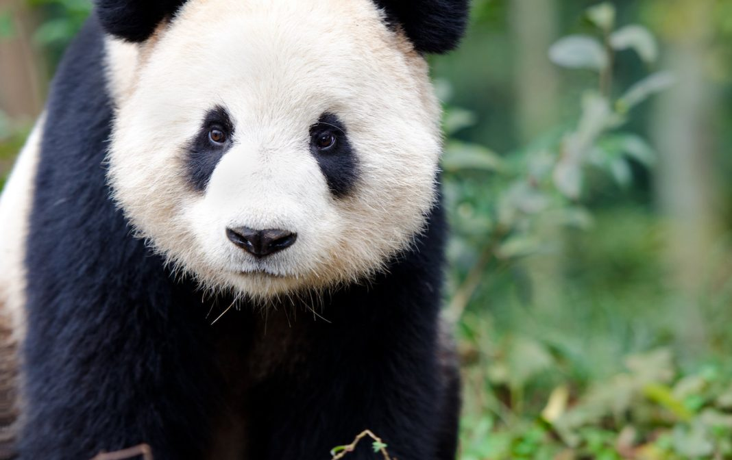 Huge Pandas: Truths About the Charming Black and White Bears