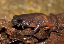 Meet India's stellar dwarf frog– a types without any close loved ones