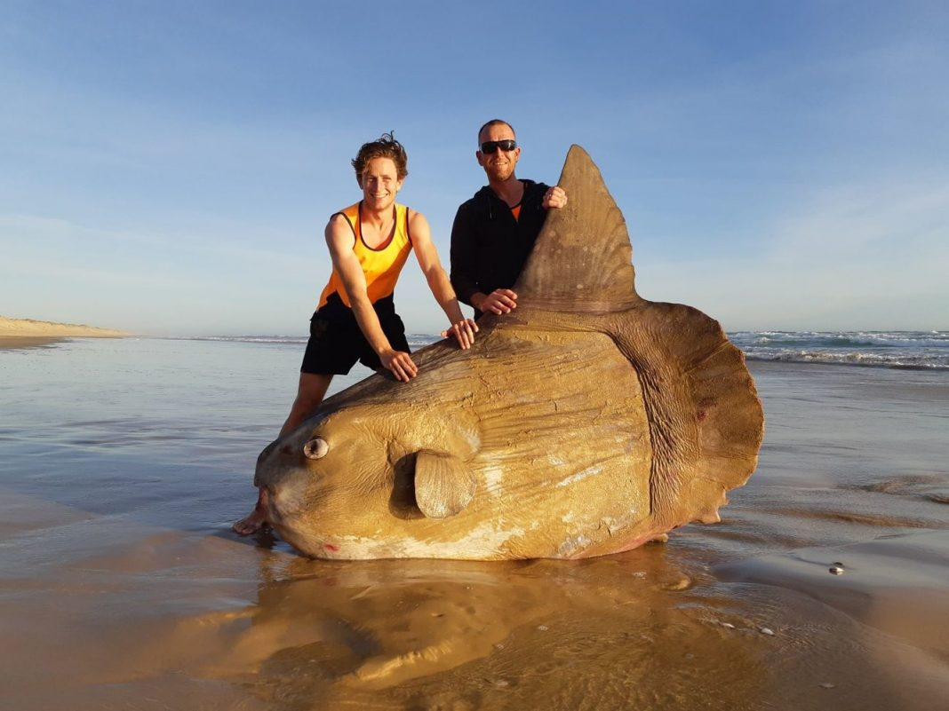 Giant, Weird-Looking Fish With 'Startled' Eyes Cleans Up on Aussie Beach