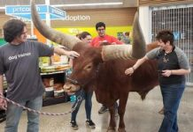 Huge cow tests animal shop Petco's 'all leashed family pets are welcome' policy