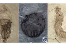 Newly found fossils in China highlight an excessive variety of Cambrian life