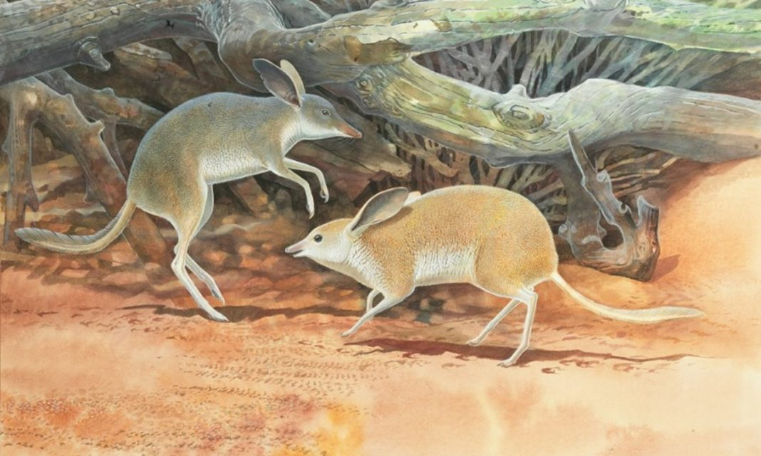 Extinct 'Pig-Footed Bandicoot' Galloped Around Australia Like a Wonky Little Horse