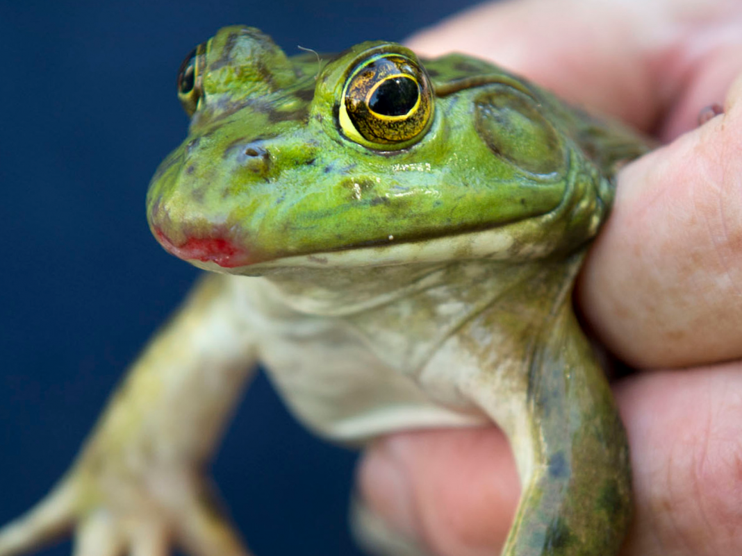 Frog tongues are 6 times faster than a fighter jet. Here are 9 more factors frogs are covertly amazing.