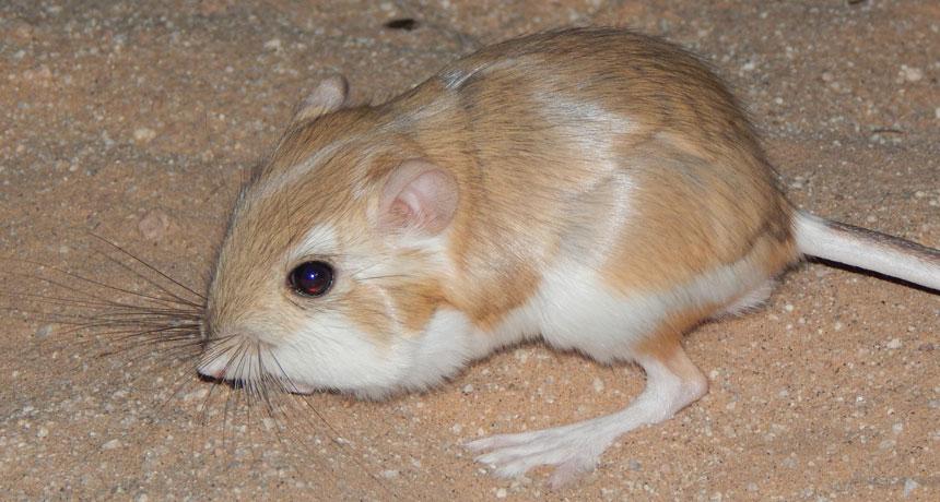 View a desert kangaroo rat drop-kick a rattlesnake