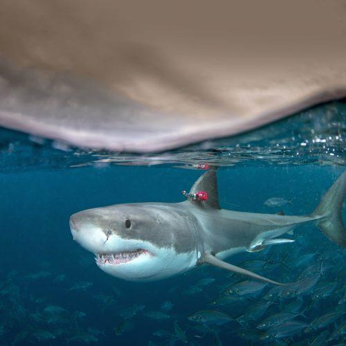 Swim Quick … Great White Sharks Do Not!