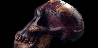 To Increase Mental Capacity, Ancient Hominins Sought Fat Prior To Meat