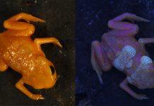 Tiny pumpkin toadlets have radiant bony plates on their backs