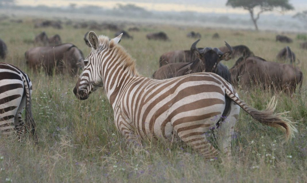Extraordinary Pictures Program Uncommon 'Blond' Zebra Thriving in the Wild