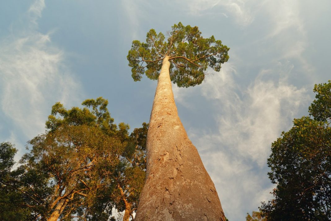 The World's Tallest Tropical Tree Is Longer Than a Football Field