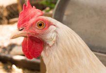 Chickens stand guard versus mosquito-borne illness in Florida