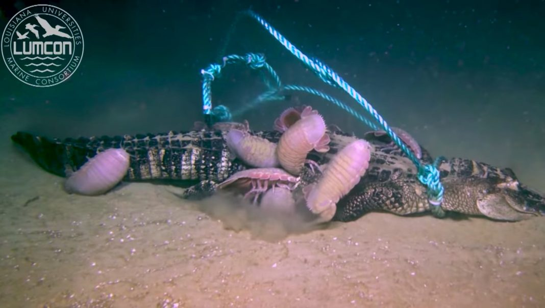 Football-Size 'Bugs' Delight In an Alligator in This Weird Deep-Sea Video
