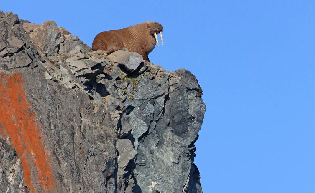 Is Environment Modification Truly Triggering Walruses to Leap Off Cliffs?