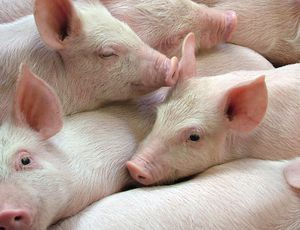 Researchers restore dead pig brains with 'synthetic blood'
