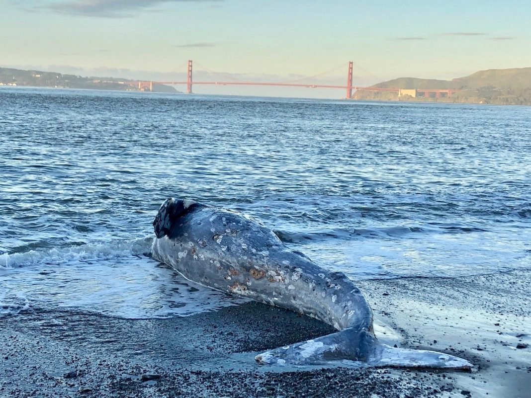 Why Are A Lot Of Gray Whales Cleaning Up Dead on California's Coast?
