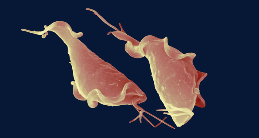 How an unknown sexually sent parasite tangos with the body immune system